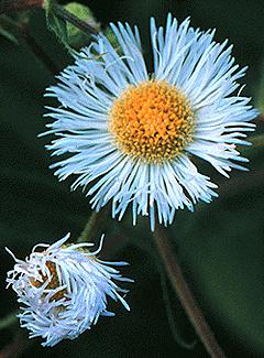 [Daisy Fleabane flowers]
