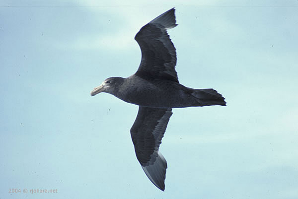 [More Patagonian natural history: A Giant Petrel soaring over the Chilean fiords.]
