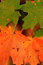 [Image: Leaves of the Sugar Maple (Acer saccharum).]