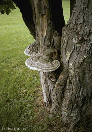 [Bracket fungus on the Bread Loaf campus, Middlebury College.]