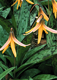 [Trout Lilies in flower]